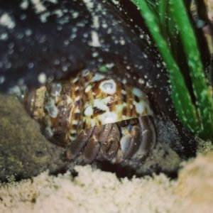 Ruggie Hermit Crab