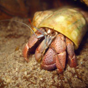 Purple Pincher Hermit Crab