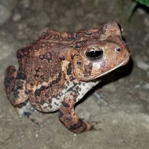 Sprocket Toad