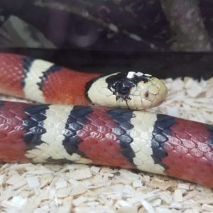 Sage Arizona Mountain Kingsnake