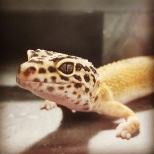 Taiga Leopard Gecko