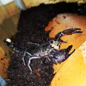 Abby' Kids Emperor Scorpion