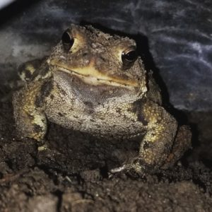 Chartreuse American Toad
