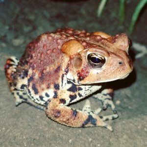 Ruby American Toad