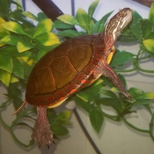 Anna Midland Painted Turtle