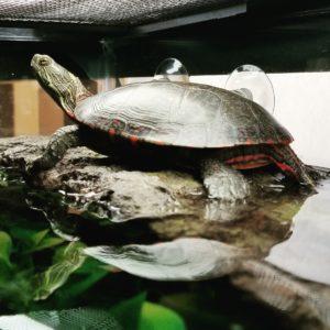 Anna Midland Painted Turtle