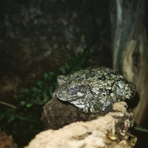 Ine Gray Tree Frog