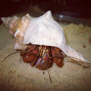 Goji Purple Pincher Hermit Crab