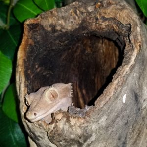 Coprolite Crested Gecko
