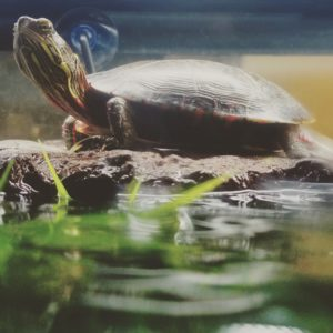 Chris Midland Painted Turtle