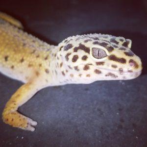 Tai Leopard Gecko