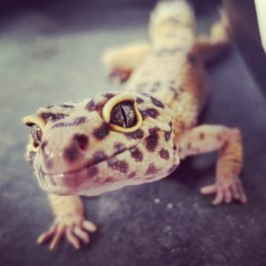 Tex Leopard Gecko