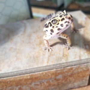 Bennet Leopard Gecko