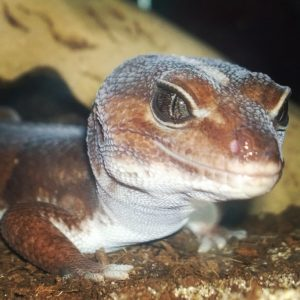 Blaze African Fat-Tailed Gecko