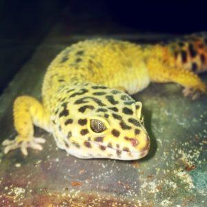 Butler Leopard Gecko