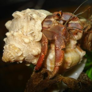 Purple Pincher Hermit Crab