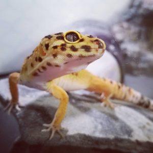 Rogue Leopard Gecko