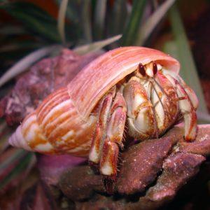 Ecuadorian Hermit Crab
