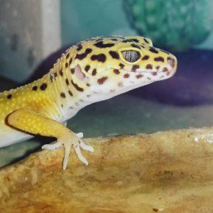 Cher Leopard Gecko