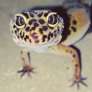 Doug Leopard Gecko