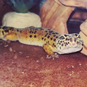 Belle Leopard Gecko