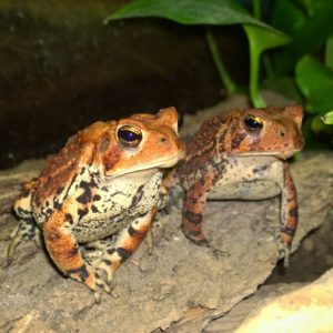Ruby Sprocket American Toad