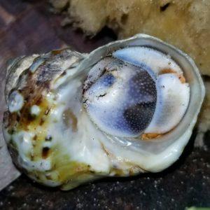 Rugosus Hermit Crab