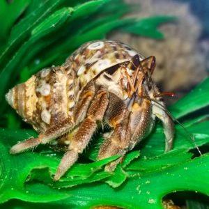 Ruggie Hermit Crab